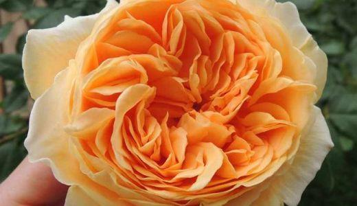 クラウンプリンセスマルガリータの鉢植えが開花!花もちは?