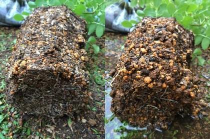 コスモス手作り油肥根鉢