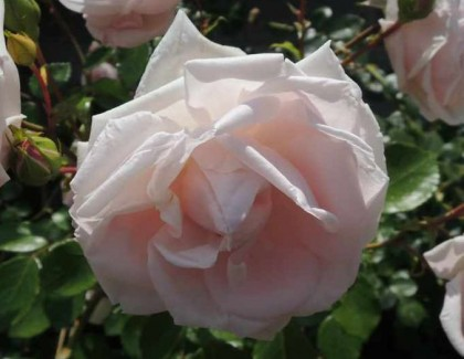 ニュードーンの咲く様子5