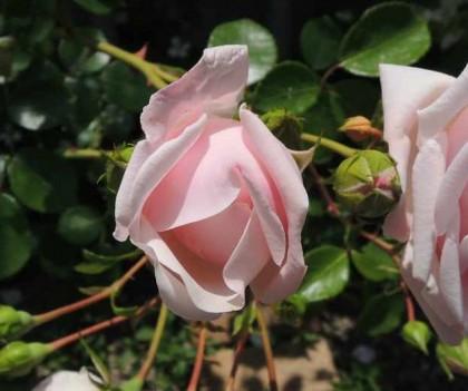 ニュードーンの咲く様子1