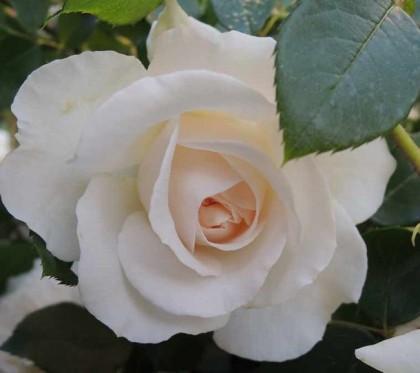 コスモスが開花4