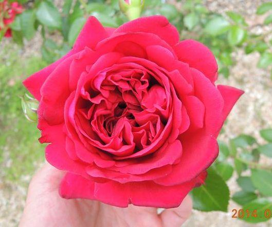 リパブリックドゥモンマルトルの一番花2