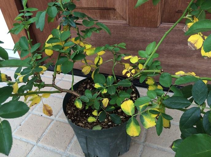 バラの葉が黄変2
