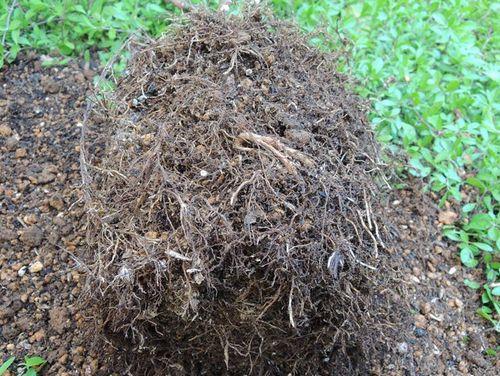 ローズショップの有機肥料の根鉢3