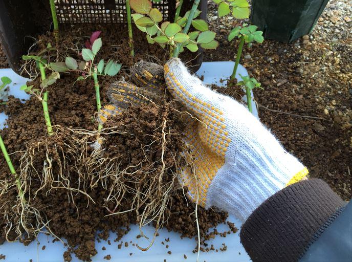 切り花品種の挿し木苗