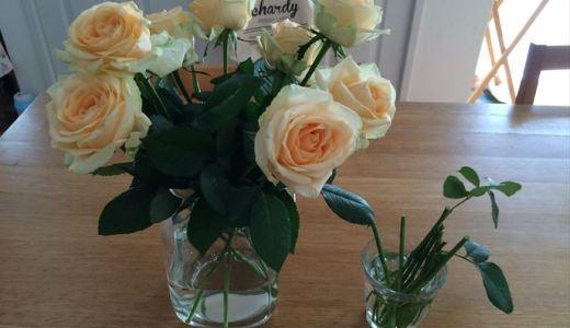 バラの切り花を挿し木!その後はどうなった?