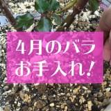 4月のバラの手入れ方法アイキャッチ