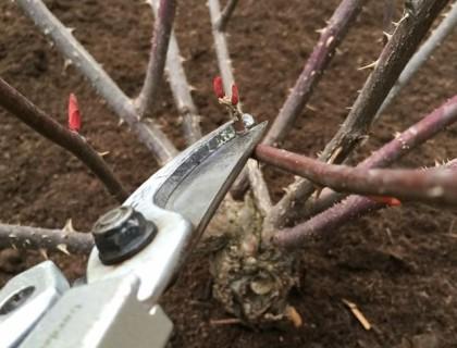 バラ剪定 弱小枝を切る2
