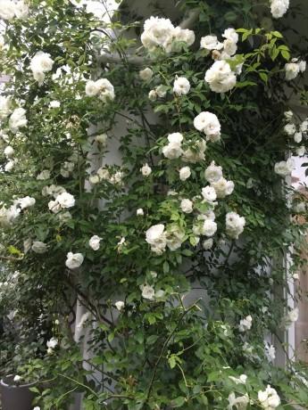バラが咲いた20150523 (2)