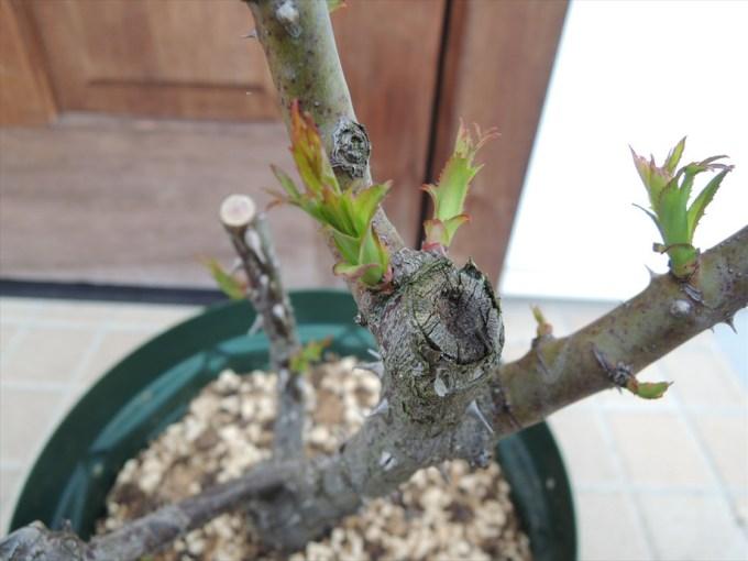 ローズ・デ・キャトル・ヴァン枝の付け根から芽が出た