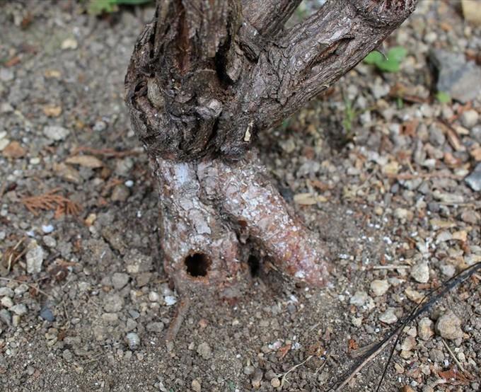 カミキリムシのバラへの被害の穴
