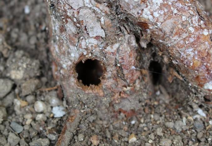 カミキリムシのバラへの被害の穴アップ