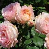 ペッシュ・ボンボンの複数開花1
