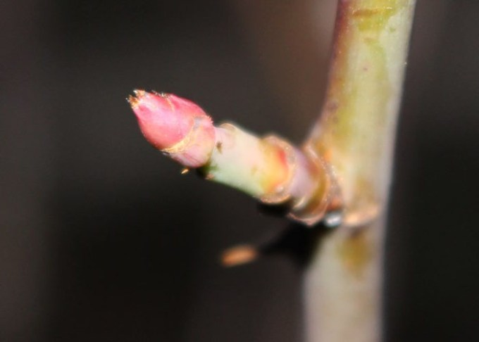 枝の先端の芽2