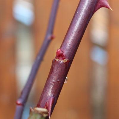 ぷっくりした赤い芽