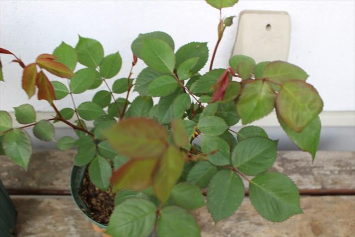 オリビアローズオースチンB:化成肥料アップ