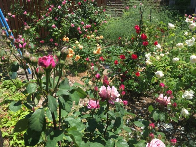 オトメンパパの庭の様子