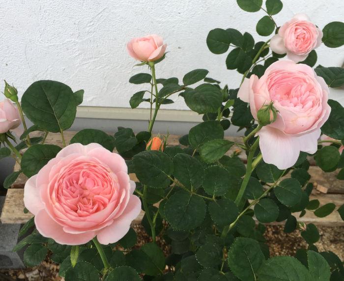クイーンオブスウェーデンの花