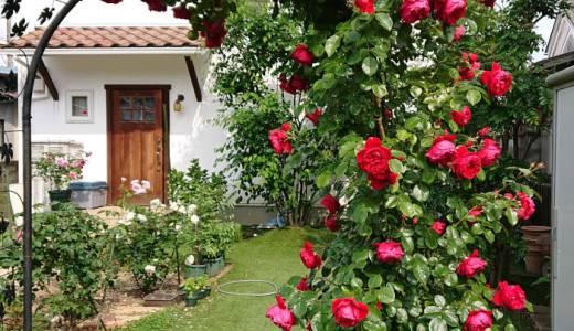 つるバラのフロレンティーナが開花♪香りと花もちは?