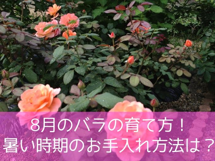 8月のバラの育て方!暑い時期のお手入れ方法は?