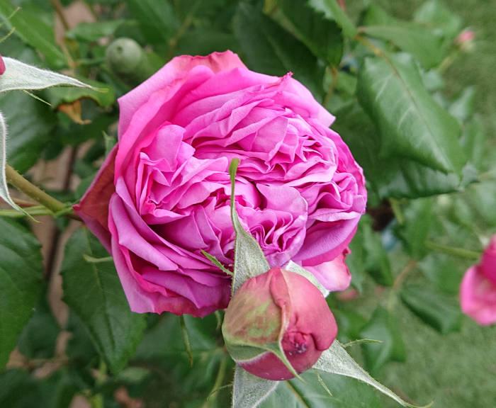 5月15日のローズポンパドールの花2(化成肥料