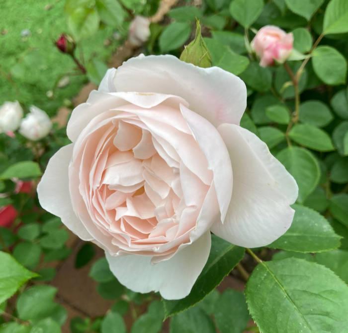 デスデモーナ(バラ)の花3