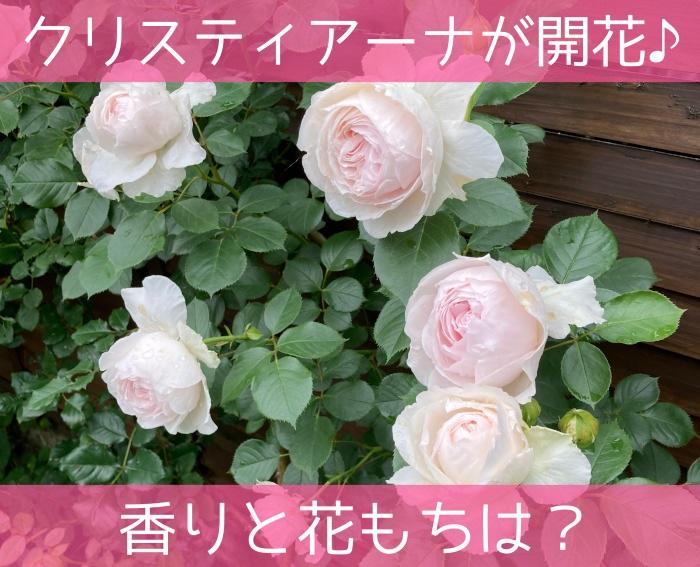 つるバラのクリスティアーナが開花♪香りと花もちは