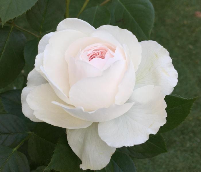 クリスティアーナの開花2