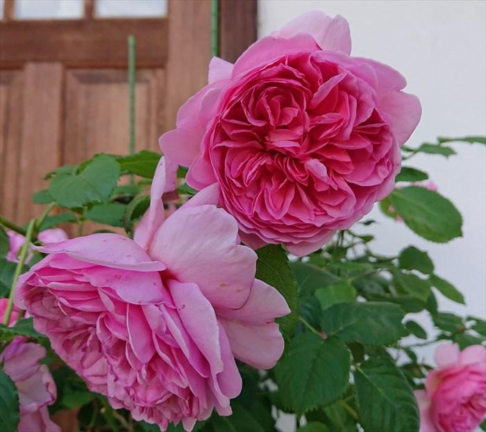 開花したプリンセス・アレキサンドラ・オブ・ケント