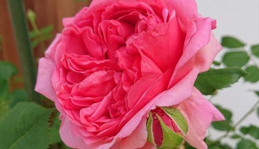 プリンセス・アレキサンドラ・オブ・ケントが開花!特徴は?花持ちは?