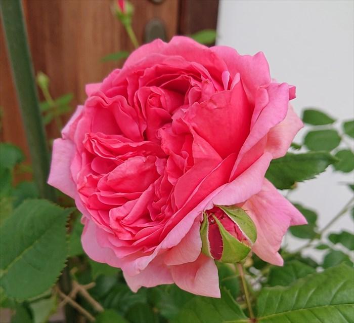 プリンセス・アレキサンドラ・オブ・ケントの花