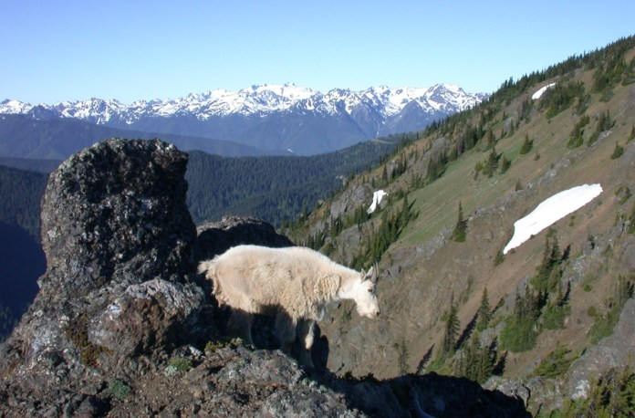 mountain-goats-eliminated-Olympic-National-Park