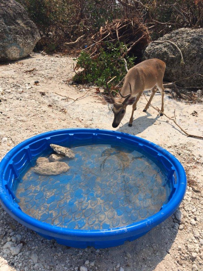 Key Deer Irma Salty Water
