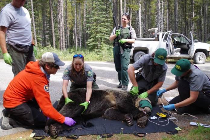 Grizzly Bear Hit Car Alberta Parks Banff