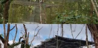 Endangered Puerto Rican Parrots