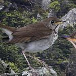 800px-Bicknells_Thrush_From_The_Crossley_ID_Guide_Eastern_Birds