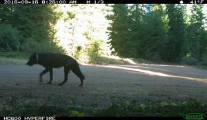 Illegal Killing of Oregon Wolf
