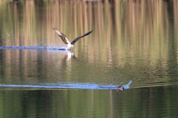 Osprey and Alligator on Dauphin Island