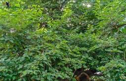 Kalpavriksha (23)