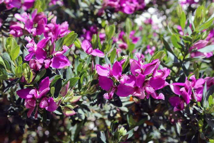 Love Affair with Positano - Magenta Flowers