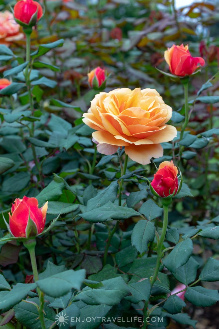 Apricot Rose - The Huntington Rose Garden
