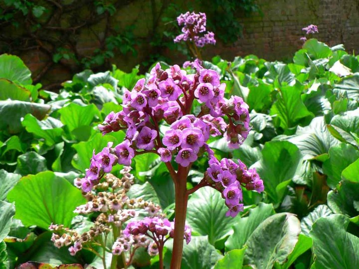 Heartleaf Bergenia. with pink bell-shaped flowers, tolerates drought