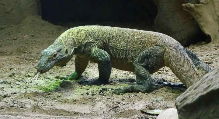 A large, green Komodo Dragon sticks its tongue out