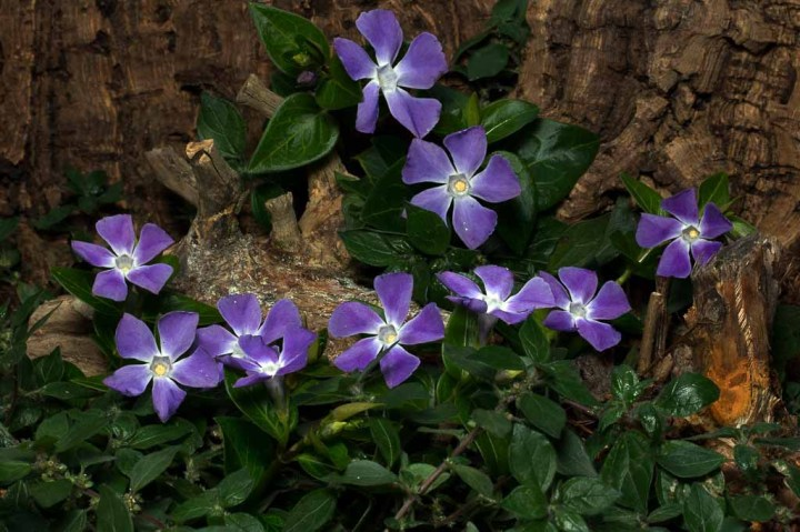 """Vinca minor or """"Periwinkle,"""" a drought tolerant ground cover"""