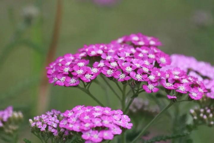 Drought resistant perennial: pink yarrow (achillea)