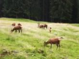 Cervi di Paneveggio
