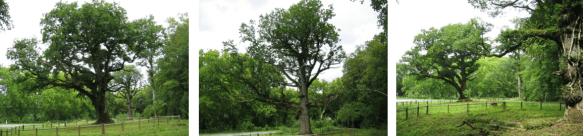 Les Trois chênes (quercus petraea) de Rigney dans le département du Doubs