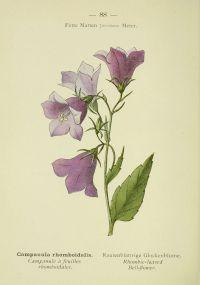 Flore_des_Alpes_260_campanule_a_feuilles_rhomboidales_-_campanula_rhomboidalis