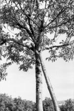 Noyer au houppier soutenu par une béquille fourchue (région de Saint-Céré).