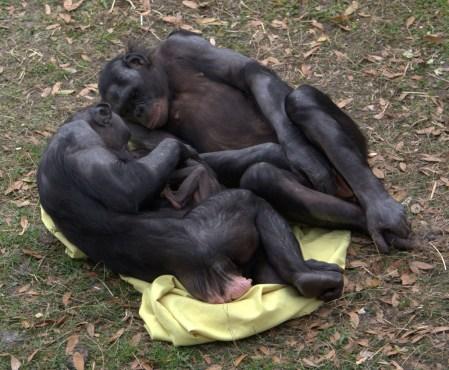 Bonobos_adoring_baby_(4531338876).jpg